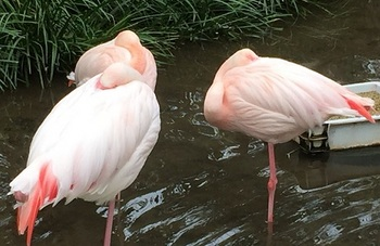 furamingo2.jpg